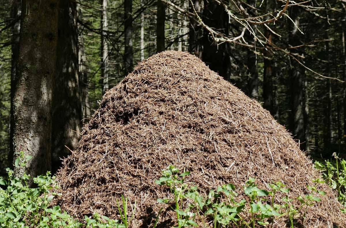 Ameisenhaufen auf Wasserader