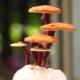Reishi Pilz gegen verschiedene Krankheiten